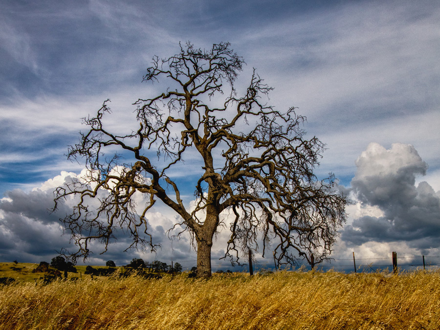 Oak with storm approaching